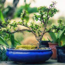 Bonsai als Wertanlage